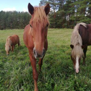 Myytävät hevoset